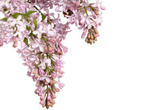 Inflorescencia de la lila Imágenes de archivo libres de regalías