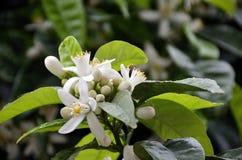 Inflorescencia de la planta anaranjada Imagen de archivo libre de regalías