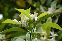 Inflorescencia de la planta anaranjada Fotografía de archivo libre de regalías