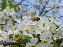 Inflorescencia de las flores blancas en una rama de la cereza Imagenes de archivo