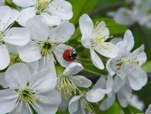 Inflorescencia de las flores blancas en una rama de la cereza Fotos de archivo libres de regalías