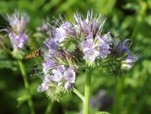 Inflorescencia de Phacelia con la abeja del vuelo Fotos de archivo
