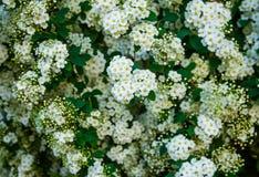 Inflorescencia de Spirea, pequeñas flores blancas delicadas, hojas verdes, repitiendo el modelo botánico floral, fondo Fotos de archivo libres de regalías