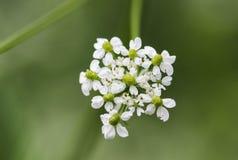 Inflorescencia de un maculatum del Conium de la cicuta o del veneno de la hierba Fotografía de archivo