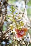 Inflorescencia del árbol del obús Fotografía de archivo libre de regalías