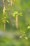 Inflorescencia del abedul floreciente Foto de archivo