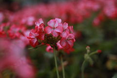 Inflorescencia del geranio rosado Fotos de archivo libres de regalías