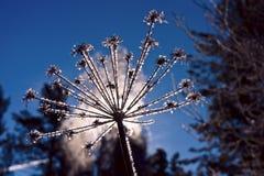 Inflorescencia del paraguas cubierta con el hielo, iluminado por la luz de Fotos de archivo libres de regalías