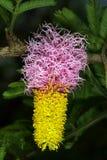 inflorescencia Dos-coloreada del arbusto de la hoz, Dichrostachys cinerea Fotos de archivo libres de regalías