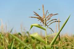 Inflorescencia en la plantación del maíz con el cielo azul Fotos de archivo libres de regalías