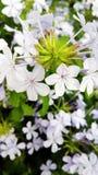 Inflorescencia interesante de las flores blancas con las venas púrpuras Fotografía de archivo