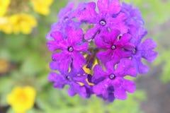 Inflorescencia púrpura fotografía de archivo