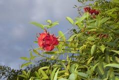 Inflorescencia roja de la cresta-galli de Erythrina fotografía de archivo libre de regalías