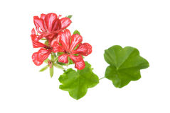Inflorescencia roja del geranio Imágenes de archivo libres de regalías