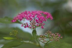 Inflorescencia rosada Foto de archivo