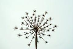 Inflorescencia seca de la hierba del Heracleum en un fondo blanco del cielo Imagen de archivo libre de regalías