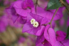 Inflorescencia violeta con las flores Imagen de archivo