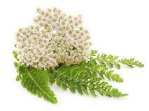 Inflorescencias blancas con las hojas Imagen de archivo libre de regalías