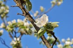 Inflorescencias de la manzana en las ramas Fotos de archivo