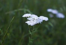 Inflorescencias de los wildflowers blancos Planta de la milenrama de las flores blancas Fotos de archivo