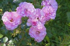 Inflorescencias de rosas rosadas en jardín Fotos de archivo