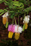 inflorescencias Dos-coloreadas del arbusto de la hoz, Dichrostachys cinerea Foto de archivo libre de regalías