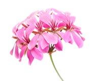 Inflorescense cor-de-rosa do Pelargonium Imagens de Stock