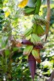 Inflorescense della banana Immagini Stock Libere da Diritti