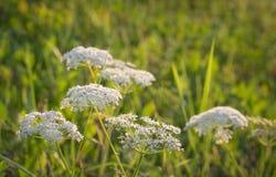 Inflorescenza bianca del Umbelliferae Immagini Stock