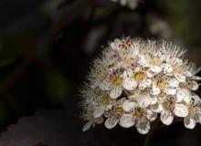 Inflorescenza dei fiori bianchi Fotografie Stock Libere da Diritti