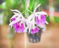 Inflorescenza dei modelli naturali di fioritura del gruppo porpora delle orchidee in giardino fotografia stock