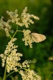 Inflorescenza del alpinum di Aconogonon sulla luce solare fotografia stock