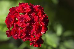 Inflorescenza del geranio rosso con i fiori sotto forma di rose Immagine Stock Libera da Diritti