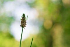 Inflorescenza del primo piano dell'erba del campo Immagine Stock