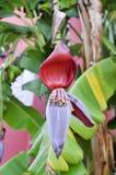 Inflorescenza della banana Fotografia Stock