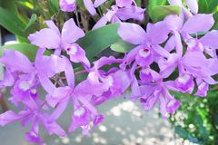 Inflorescenza della natura dei modelli dei fiori porpora variopinti gruppo o dendrobium dell'orchidea che fiorisce nel giardino fotografie stock