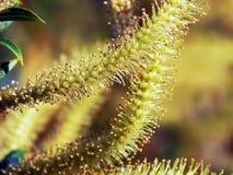 Inflorescenza della primavera dei fiori sui rami del salice Immagine Stock