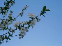 Inflorescenza delle ciliege fotografia stock