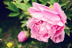Inflorescenza di una peonia rosa su un fondo di fogliame verde Fotografia Stock