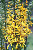 Inflorescenza gialla Fotografie Stock Libere da Diritti