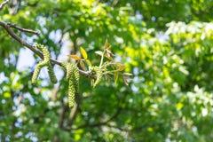 Inflorescenza maschio del fiore della noce sul mazzo di albero fotografie stock libere da diritti