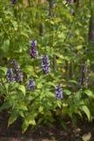 Inflorescenza porpora di rugosa del Agastache fotografie stock