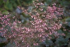 Inflorescenza rosa minuscola delle piante del Heuchera fotografie stock libere da diritti