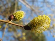 Inflorescenze che fioriscono salice Immagine Stock Libera da Diritti