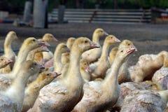 Influenza di uccello Immagini Stock Libere da Diritti