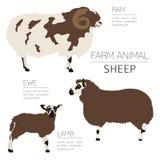 Infographic πρότυπο καλλιέργειας προβάτων Κριός, προβατίνα, οικογένεια αρνιών διανυσματική απεικόνιση