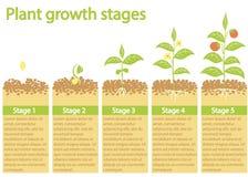 Заводы растя infographic Заводы растя процесс Этапы темпа роста завода Стоковая Фотография RF