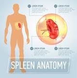 Infographic affisch med mjälteillustration- och läkarundersökningsymboler Royaltyfria Bilder