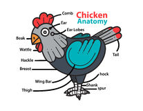 Infographic anatomy of a chicken. Royalty Free Stock Image
