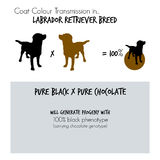 Infographic on coat colour transmission in Labrador Retriever dogs Royalty Free Stock Photos